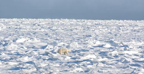 Polar-bear-on-ice-©-Tony-Campbell-Fotolia